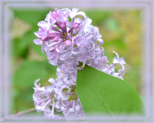 Lilac Flower Essence - Nature's Remedies