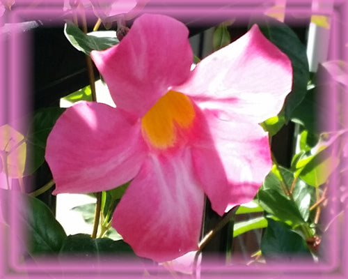 Mandevilla Flower Essence - Nature's Remedies