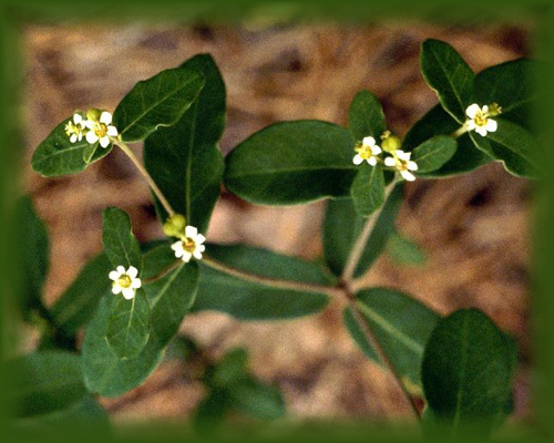 False Flowering Spurge Flower Essence - Nature's Remedies