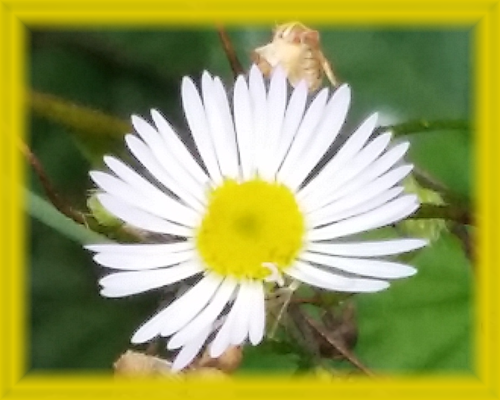 Hairy White Oldfield Aster Flower Essence - Nature's Remedies