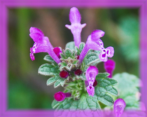 Henbit Flower Essence - Nature's Remedies