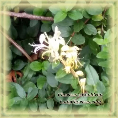 Wild Honeysuckle Flower Essence