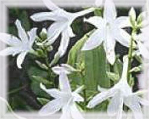 Hosta Flower Essence - Nature's Remedies