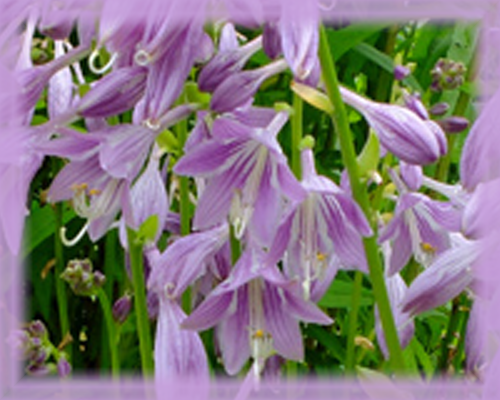 Hosta Golden Tiara Flower Essence - Nature's Remedies