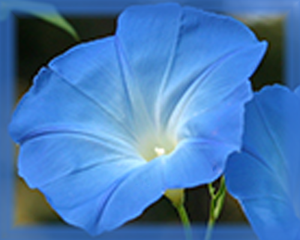 Morning Glory Flower Essence - Nature's Remedies