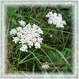 Queen Anne's Lace Flower Essence