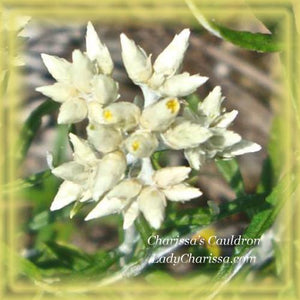 Rabbit Tobacco Flower Essence