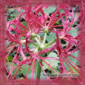 Red Spider Lily Flower Essence