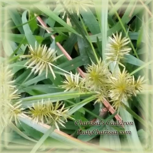 Sedge Flower Essence