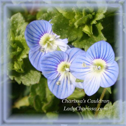 Speedwell Flower Essence