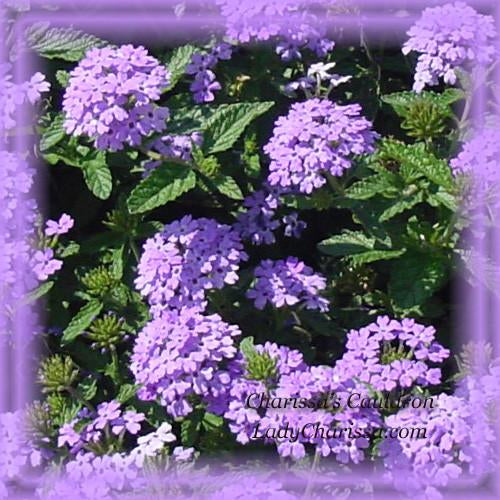 Verbena Flower Essence
