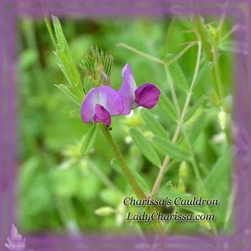 Vetch Flower Essence