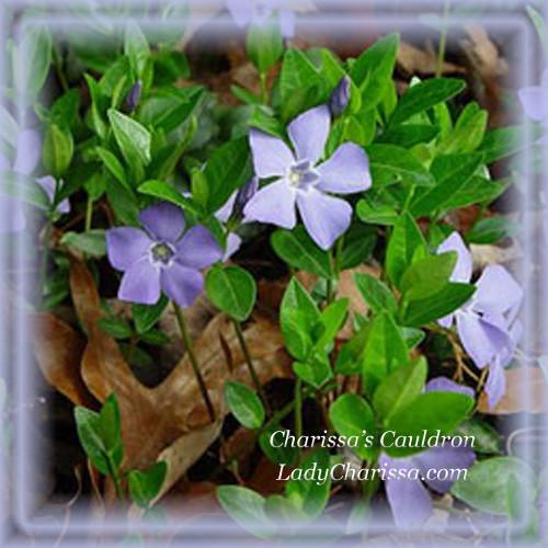 Vinca Major Flower Essence