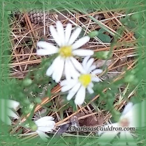 White Oldfield Aster Flower Essence