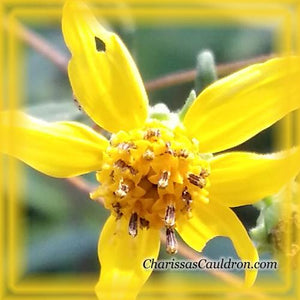 Yellow Crownsbeard Flower Essence