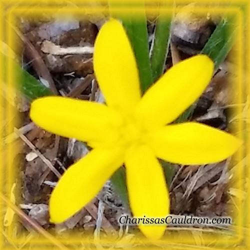Yellow Stargrass Flower Essence