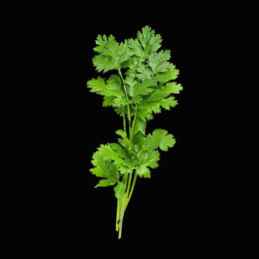 Fresh Coriander (Single)