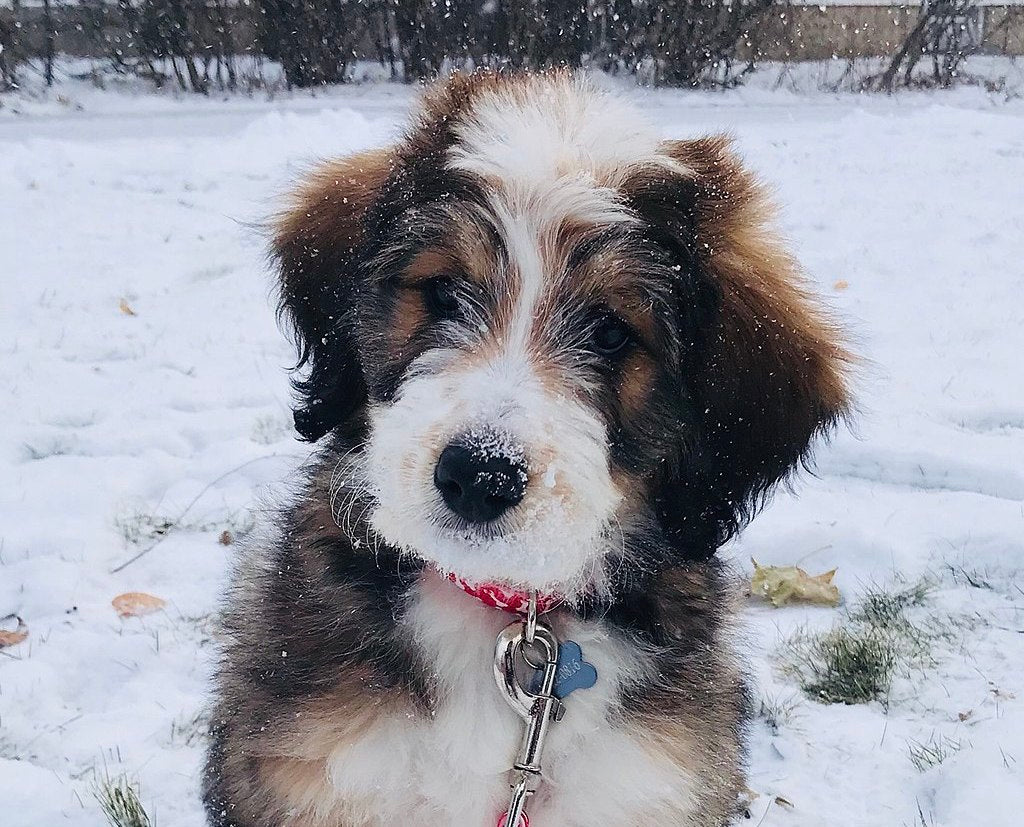 Bernedoodle in the snow