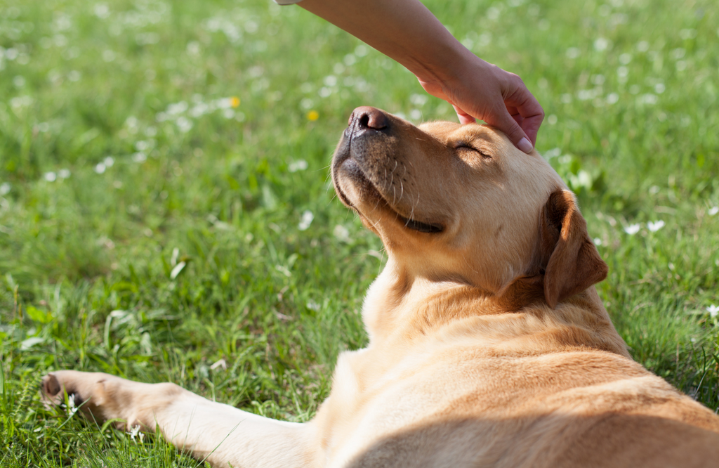 Dog getting its head scratched