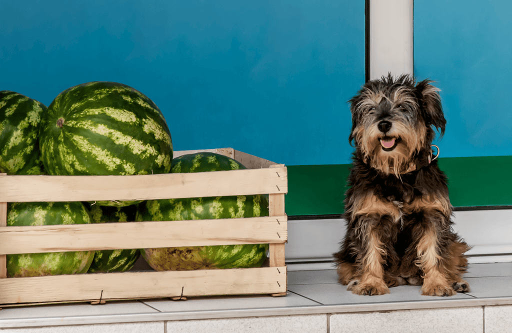 Puppy sitting by crate of watermelon
