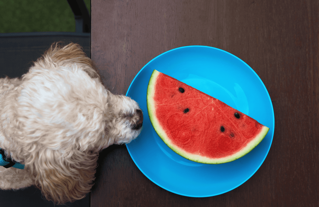Dog looking at a plate of watermelon
