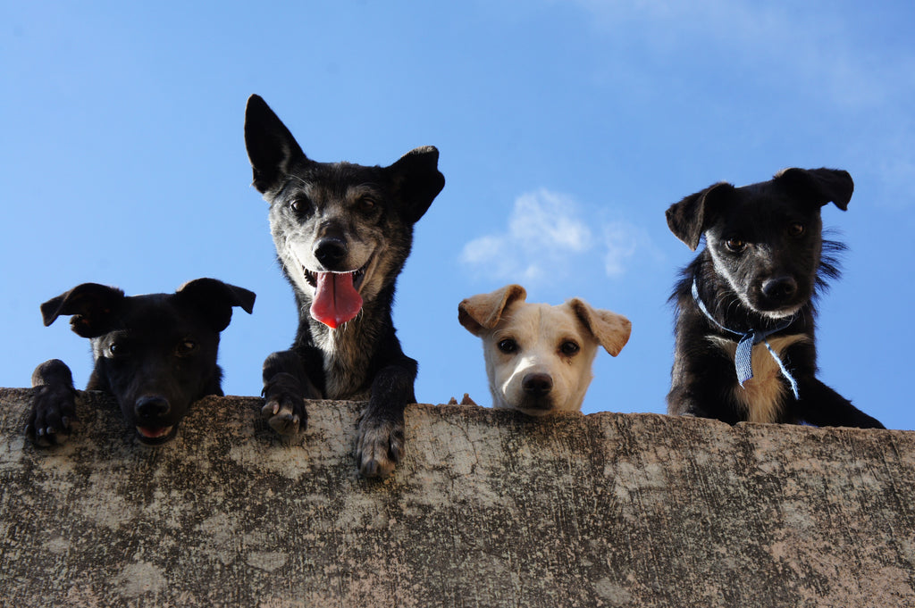 4 dogs chilling out