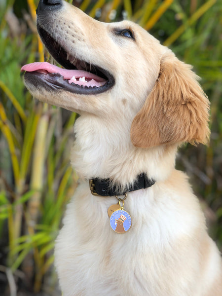 Pet ID tag hanging on a collar worn by a blonde dog. Made of gold plated brass and blue enamel designed with a dog dressed like Uncle Sam on a quarter that reads 'In dog we trust'.