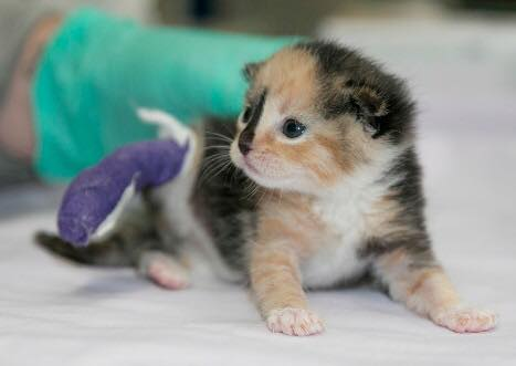 Pet and Veteran Success Story: Amputee Kitten and Disabled Veteran Help Each Other Heal