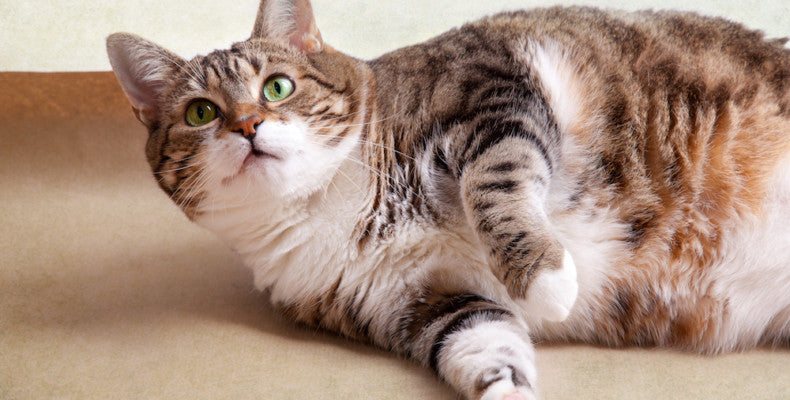 Best Cat Food for Overweight Cats or Obese Cats