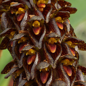 Bulbophyllum crassipes - Les Orchidées de Michel Vacherot