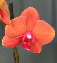 Phalaenopsis Surf Song 'Orange' - Les Orchidées de Michel Vacherot