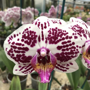 Phalaenopsis Miva Pearl 'Capitain Jones' - Les Orchidées de Michel Vacherot