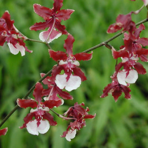 Oncidium Sharry baby 'Sweet Fragrance' - Les Orchidées de Michel Vacherot