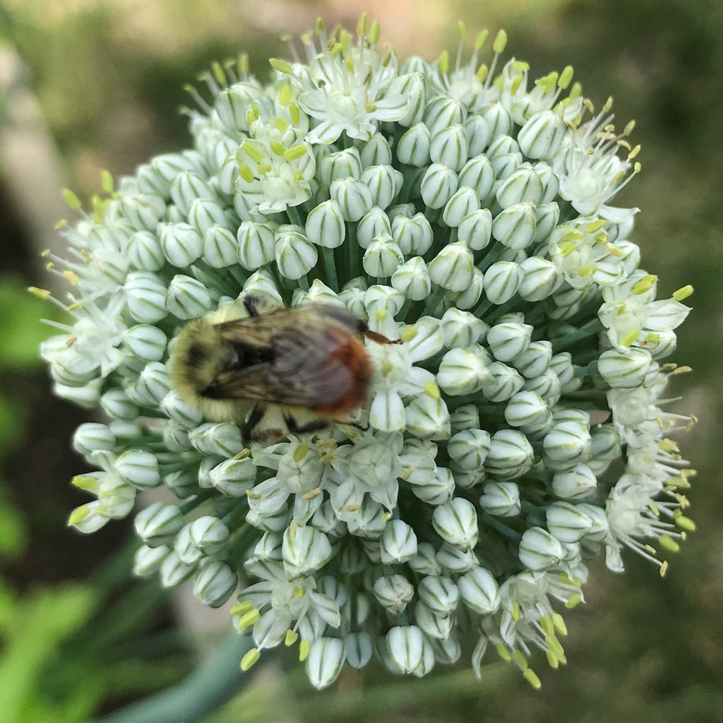 bee-on-onion-flower