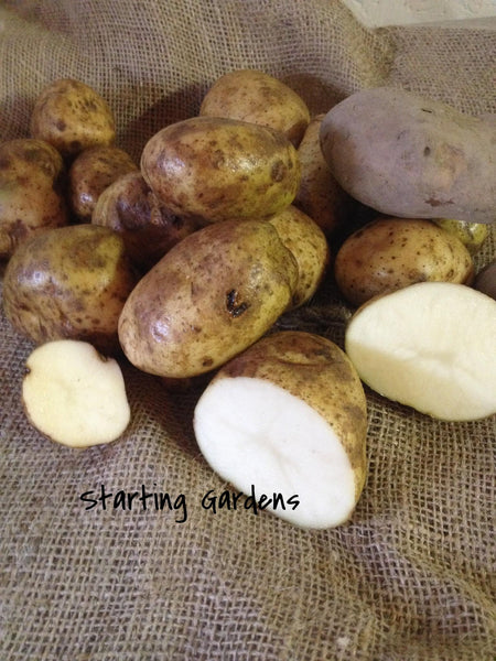 Seed Potato, White Kennebec, (5 lbs.), Certified Seed