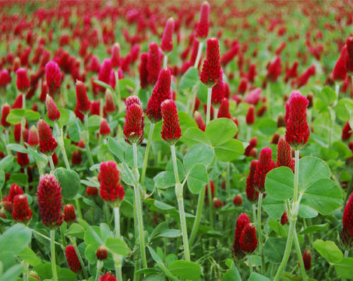 Crimson Red Clover Seed, (1 lb. Pack), Food Plot Seed, Cover Crop, Bee Forage