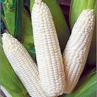 Truckers Favorite White Corn ,  1 Pound Pack, Heirloom, USDA Certified NON GMO