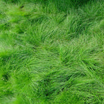 Creeping Red Fescue Grass Seed, Shade Tolerant Fescue, 1 and 5 Pound Packs
