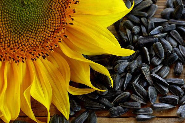 Black Oil Sunflower Seed, (1 lb. Pack), USA Grown, Hand Packed Birdseed