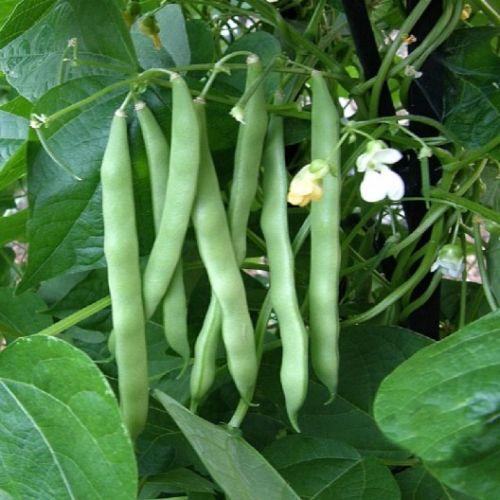 Blue Lake Pole Bean Seed, Packed in Resealable Foil Packaging, Heirloom, NON GMO-Starting Gardens