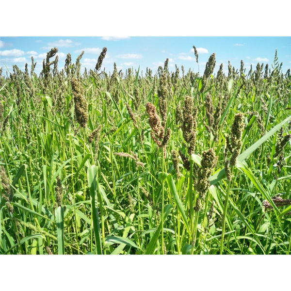 Brown Top Millet Seed, (5 Lb. Pack), Cover Crop, Erosion Control, Food Plots