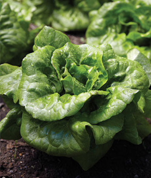 Buttercrunch Lettuce Seed, 1/2 Ounce Packet, 10,000 Plus Seeds, NON GMO Lettuce