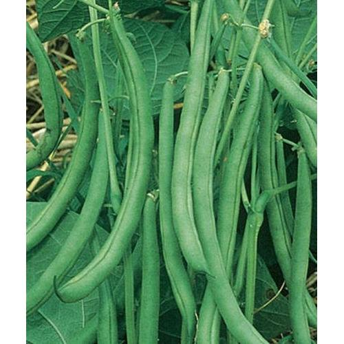 Contender Bush Bean Seed, Packed in Resealable Foil Packaging, Heirloom, NON GMO-Starting Gardens