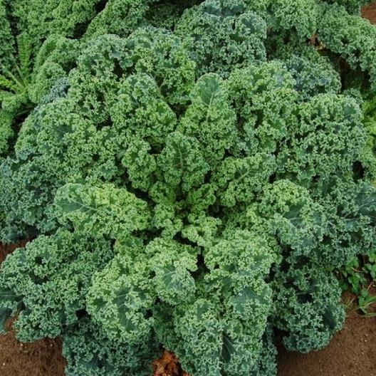 Kale, Dwarf Blue Curled Scotch, 1/2 Ounce Pack, 3500-4000 Seeds, Heirloom Seed