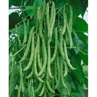 Kentucky Wonder Pole Bean Seed , 1 lb., Heirloom, Open Pollinated, USA Grown-Starting Gardens