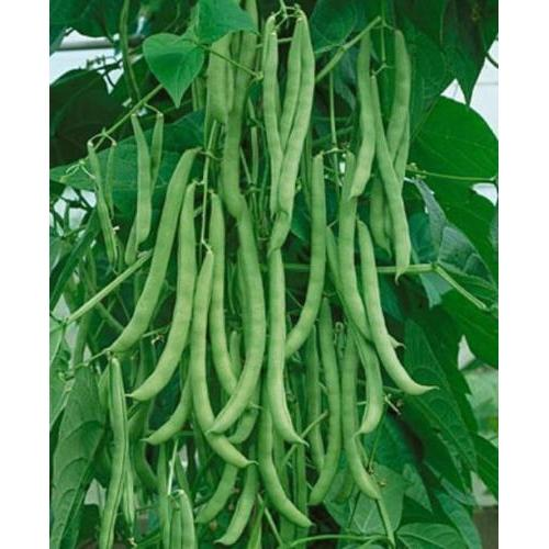 Kentucky Wonder Pole Bean Seed , 1/2 lb., Heirloom, Open Pollinated, USA Grown-Starting Gardens