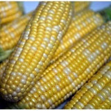 Peaches and Cream Corn Seed, Bi-Color Sweet Corn, Treated Seed, Non GMO-Starting Gardens
