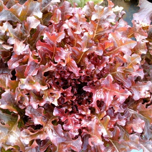 Lettuce Seed, Red Salad Bowl, 1/2 Ounce Packet, Approx 10,000 Plus Seeds