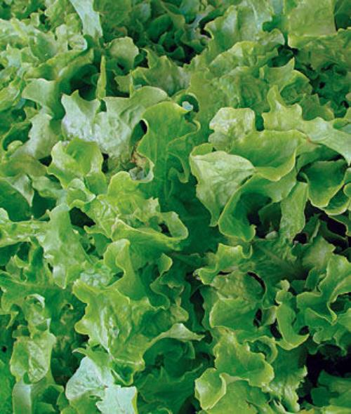 Lettuce Seed, Salad Bowl Green, 1/2 Ounce Pack, 10,000 Plus Seeds