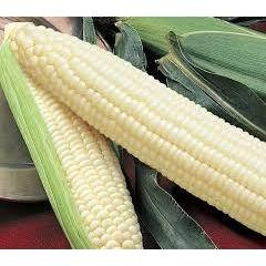 Silver Queen Corn Seed, 1/2 lb., USA Grown, Treated Seed, NON GMO, For 2016-Starting Gardens